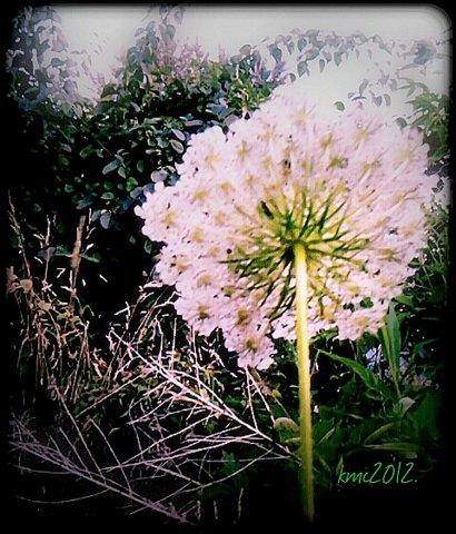 Wildflower Backside,kmc,2012.